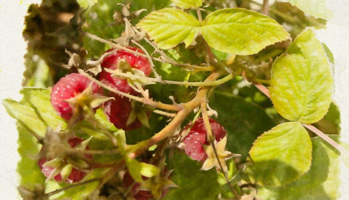 raspberries20191021